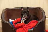 French Bulldog lying on a red blanket.