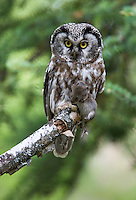 A male Boreal Owl, Aegollus funereus, prepares to carry a root vole to his young waiting in his cavity outside of Fairbanks, Alaska.
