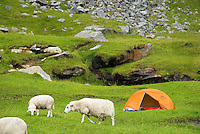 Sheep graze near tent and campsite at the isolated Kvalvika beach, Lofoten islands, Norway