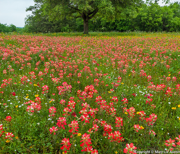Gonzales County, South Texas: A field Indian paintbrush (Castilleja indivisa) in spring with oak tree.