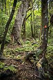 NEW ZEALAND, Hokitika, Mount Tuhua Tramp Trail, Ben M Thomas
