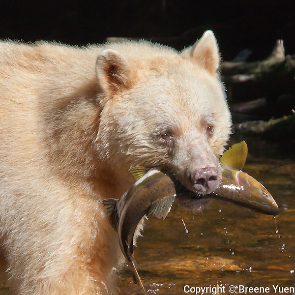Spirit Bear 'Ringer' with Salmon catch