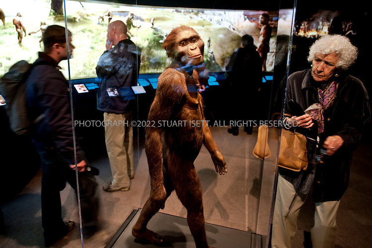 2/10/2008--Seattle, WA, USA..Lucy, the first Australopithecus afarensis skeleton discovered, on display at Seattle's Pacific Science Center as part of the 'Lucyu's Legacy' exhibit. ..Lucy was discovered on November 24, 1974 near Hadar in Ethiopia by Tom Gray andDonald Johanson in the Middle Awash of Ethiopia's Afar Depression. The exhibit cost about $2.25 million to mount which included a $500,000 fee to the government of Ethiopia, which plans to use the money raised during Lucy?s U.S. tour for cultural and scientific programs. The science center had hoped 250,000 people would visit during the exhibit?s five-month run, which ends March 8, 2009. But attendance, so far,  has been far less..©2009 Stuart Isett. All rights reserved.