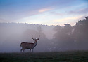 12/09/16<br /> <br /> Dawn breaks over a stag on the Chatsworth Estate near Bakewell,  Derbyshire.<br /> <br /> All Rights Reserved, F Stop Press Ltd. +44 (0)1773 550665