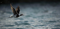 Long-tailed duck, Clangula hyemalis, Batsfiord, Norway, winter