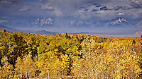 The Grand Tetons over looking the golden aspen of the Bridger Teton National Forest of Jackson Hole Wyoming