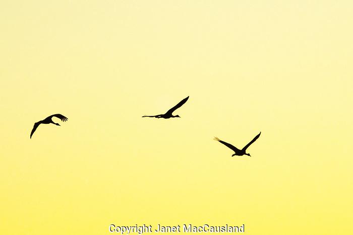 Sandhill Cranes; flight; Alaska; Creamer's Field; sunset; Birds; migration; Cranes; silhouette; yellow; sunset; sky; flying; migrating; fall; September;