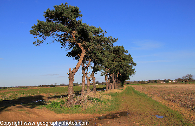 A line of Scots pine trees marking an field boundary in the countryside, Shottisham, Suffolk, England