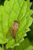 Goldgelbe Schnepfenfliege, Schnepfen-Fliege, Männchen, Rhagio tringarius, Snipe Fly, Snipe-Fly, Schnepfenfliegen, Rhagionidae, snipe flies, snipe-flies, downlooker, down-looker flies