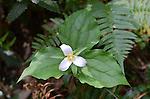 trillium at Butano State Park