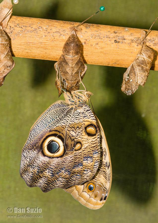 Owl Butterfly, Caligo sp., hangs from a chrysalis in the butterfly garden (mariposario) at Restaurante Selva Tropical, Guapiles, Costa Rica