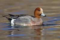 Wigeon (male) Anas penelope L 45-47cm. Males are colourful and attractive. Forms large flocks outside breeding season. Sexes are dissimilar. Adult male has mainly orange-red head with yellow forehead. Breast is pinkish; rest of plumage is mainly finely marked grey except for white belly and black and white stern. In flight, has white patch on wing. Bill is pale grey and dark-tipped. In eclipse, resembles an adult female although white wing patch is still evident. Adult female is mainly reddish brown, darkest on head and back. Note, however, the white belly and stern. In flight, lacks male's white wing patch. Bill is grey and dark-tipped. Juvenile resembles adult female. Voice Male utters evocative wheeeoo whistle.