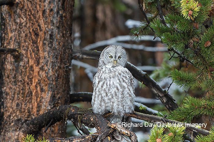 01128-00205 Great Gray Owl (Strix nebulosa) Yellowstone National Park, WY