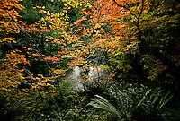 Autumn hues of vine maples are reminiscent of an impressionist painting along the Sol Duc River in Olympic National Park. The river draws fishermen enticed by such species as Coho salmon, which fight through rapids, swimming more than 50 miles upstream to their spawning grounds. Rivers receive twelve feet of rain each year, which supports Sitka spruce, western hemlock, vine-maples, ferns, and the thick mosses covering the forest floor.