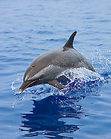 pantropical spotted dolphin jumping, Stenella attenuata, Kona Coast, Big Island, Hawaii, Pacific Ocean