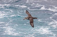 Southern giant petrel in flight, soaring over the open ocean near South Georgia Island.