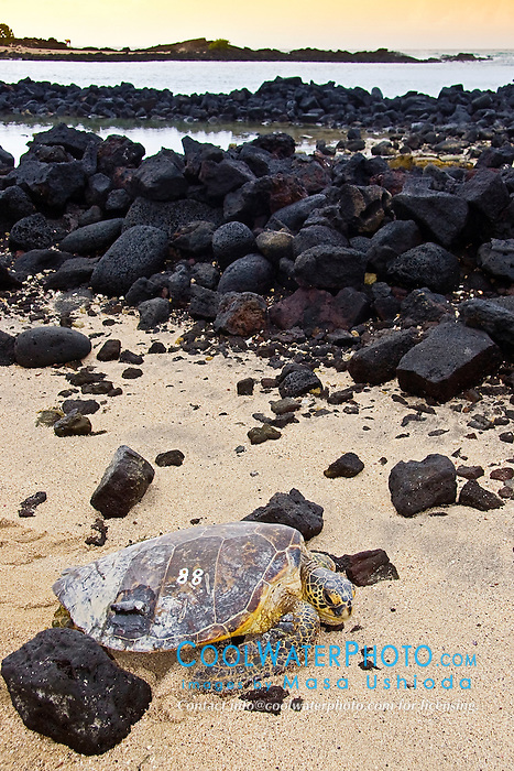 Tagged and released Green Sea Turtle, Chelonia mydas, resting in front of the piles of lava rocks of `Ai`Opio Fish Trap built by ancient Hawaiian, note - inscribed and painted number and the epoxied sonic transmitter on its carapace (tutle shell), U.S. Marine Turtle Research, organized by researcher George Balazs PhD, NOAA National Marine Fisheries Service (NMFS), Hawaii Preparatory Academy (HPA) students and teachers (NOAA/HPA Marine Turtle Program), and ReefTeach volunteers at Kaloko-Honokohau National Historical Park, Kona Coast, Big Island, Hawaii, Pacific Ocean.