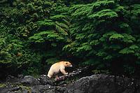 Kermode Black Bear (Ursus americanus kermodei) walking coastal shoreline  on Princess Royal Island, British Columbia.  Sept.