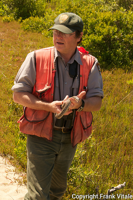 Bob Cook, National PArk Service biologist capturing a hognose snake as part of an effort to inventory and monitor wildlife within the Cape Cod National Seashore. The snake was released unharmed a short time afterwards.