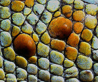 GK03-001x  Tokay Gecko - close-up of skin  - Gekko gecko..