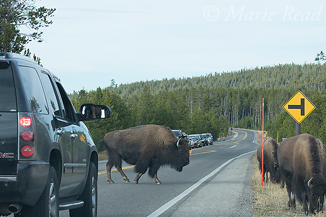 American Bison (AKA Buffalo) (Bison bison) crossing road causing traffic jam, Yellowstone National Park, Wyoming, USA