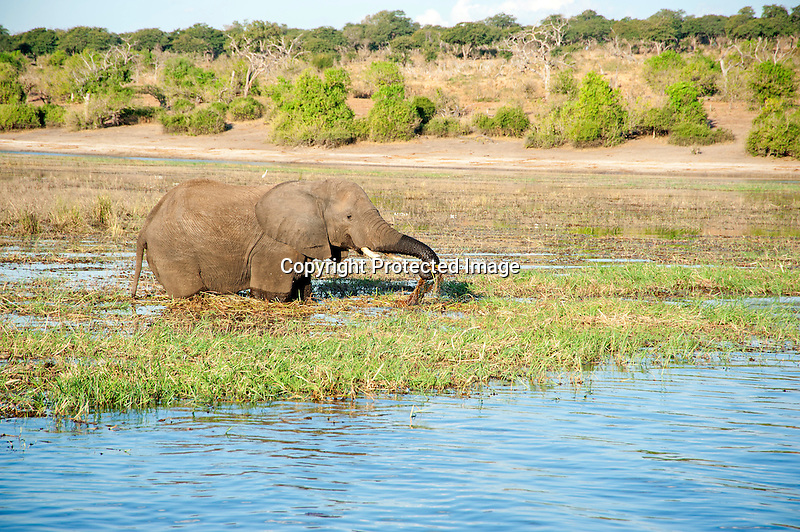 Elephant Munching on Grasses in the Chobe River in Botswana in Africa