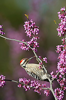Ladder-backed Woodpecker (Picoides scalaris), adult male perched on blooming Eastern Redbud (Cercis canadensis), Hill Country, Central Texas, USA