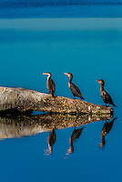 Cormorants sit on a log in a lake, Littleton, Colorado USA.