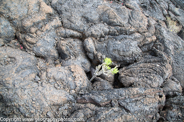 Plants growing in solidified pahoehoe or ropey lava field, Tahiche, Lanzarote, Canary Islands, Spain