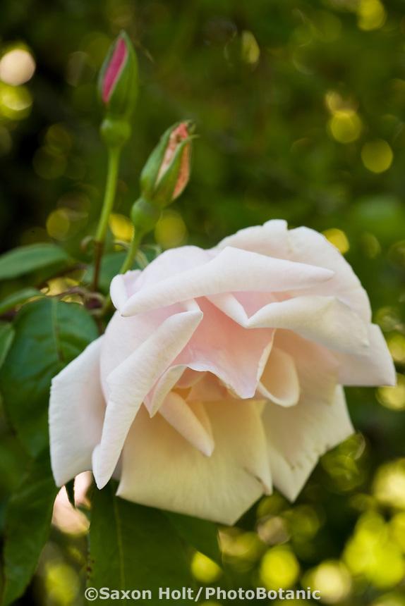 Belle Portugaise Rose, Belle of Portugal, Belle du Portugal, Belle Portuguoise pale pink flower