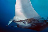 giant oceanic manta ray, Manta birostris, tangled in fishing line, Monad Shoal, Philippines