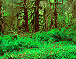 Olympic National Park, WA <br /> Redwood sorrel & sword ferns on the floor of moss draped rainforest in the Ho River Valley