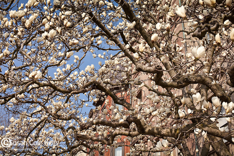 Magnolias in the Back Bay neighborhood, Boston, MA, USA