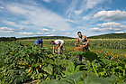 Zerek Smith, Justin Witt and Kyle Page pick vegetables under intense August sunshine. The Albany region gets an average of 4.3 sun-hours per day each year, enough to make solar a viable daytime energy solution for farmers like Ball, who may recoup their investment through tax credits, grants and financing within seven years.