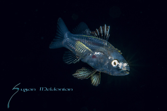 Black Water Diving; Florida Atlantic Diving; Plankton; larval fish; pelagic larval marine life; plankton creatures, jellyfish; SE Florida, Atlantic Ocean; Gulf Stream current