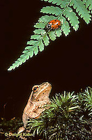 FR02-008x   Ladybug being watched by predator- a spring peeper frog