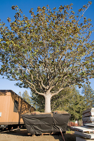 A large potted Magnolia tree awaiting planting at the real estate developer D. R. Horton's 181-unit housing development called Arbor Real. The project consists of luxury townhouses and condominiums on the site of the former Rickey's Hyatt adjacent to El Camino Real. Palo Alto, California, USA
