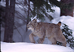 juvenile lynx in snow