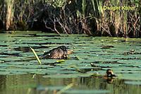 BV02-005z  Beaver - eating leaves in pond - Castor canadensis