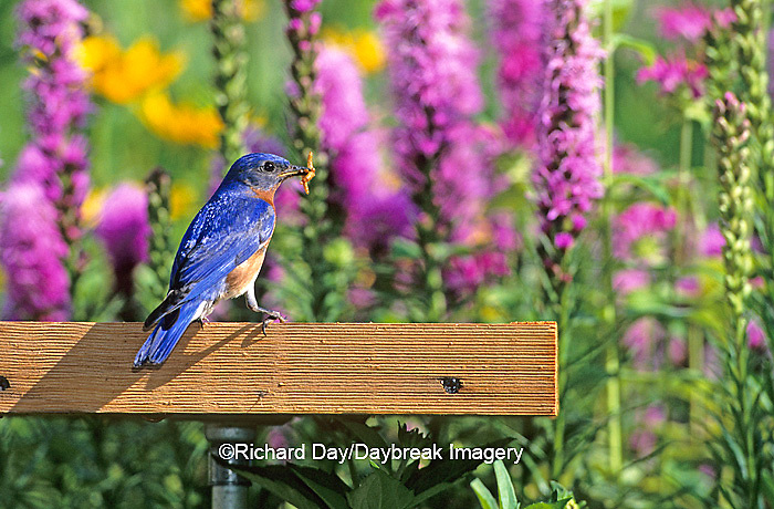 01377-04810 Eastern Bluebird (Sialia sialis) male at mealworm feeder, Marion Co.   IL