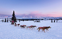 DeeDee Jonrowe mushes her dog team during a spring training run at dawn with Mt. Mckinley and the Alaska Range in the background.  Denali State park.  Southcentral, Alaska<br /> <br /> Model and Property Released