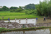 Planting rice in a paddy field belonging to Terada Honke sake brewery, Kozaki, Chiba Prefecture, Japan, June 15, 2009. Terada Honke sake brewery has been brewing sake in the town of Ozaki since 1673. They make sake using organic rice, natural sake yeast, and traditional sake brewing methods.
