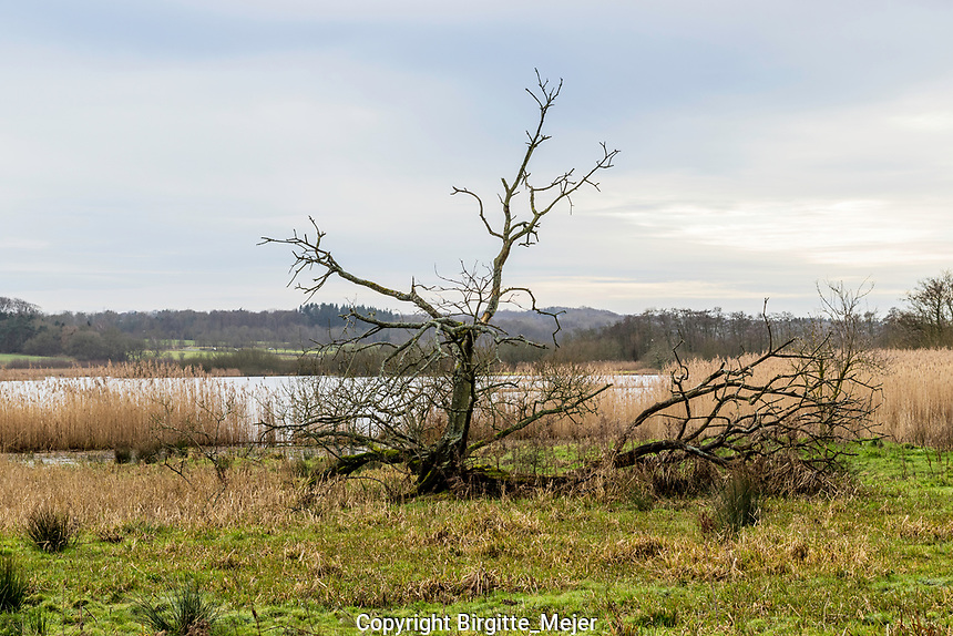 Naked dead Tree, photographed by a lake in Denmark, Scandinavia. Lake and winter Sky as background.