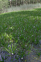 Krebsschere, Krebs-Schere, Wasseraloe, dichter Bestand, Stratiotes aloides, Water Aloe, Water Soldier, Aloès d`eau, Macle