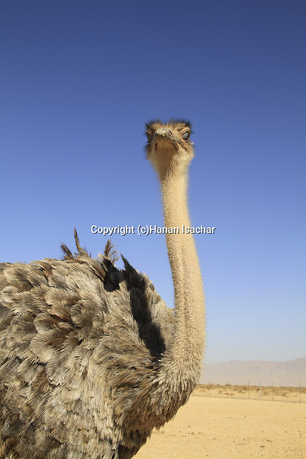 Israel, Arava, an Ostrich at the Hai Bar, the National Biblical Wildlife Reserve