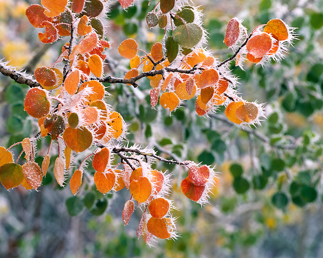 ice on the side of aspen leaves and branches in Rocky Mountain National Park, Colorado, USA