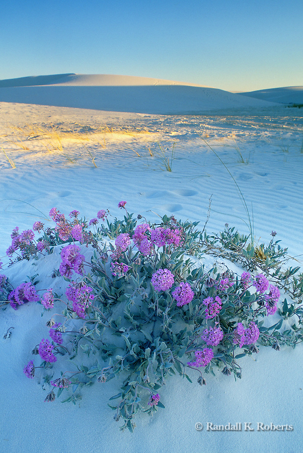 Sand Verbena flowers bloom in the sand, White Sands National Monument, New Mexico
