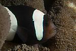 Amphiprion akindyos, Anemone fish, Barrier reef anemonefish, Indonesia, Lembeh, Lembeh Straits, Underwater macro marine life images, underwater marine life