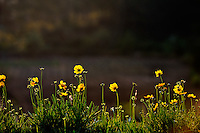 Bright yellow flowers in late afternoon light. Da Lat, Vietnam