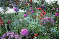 Lush contempory yet formal garden, with allium, roses Roses, garden bench on patio, herb fennel & Thymus thymes in bloom, foliage and flowers mixed together, in color theme of purple and red. Design:Judith Wise, Juliet McKelvey